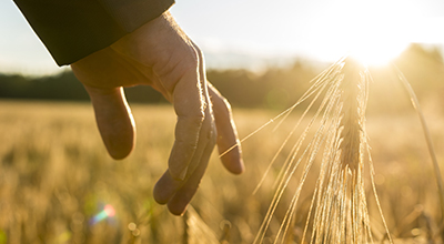 Hand touching wheat in a wheat field